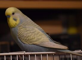 Handsome, lively male budgie for sale