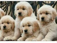 Chunkie golden retriever puppies
