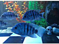 Tropical fish / cichlid