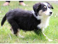 Border Collie puppies!!