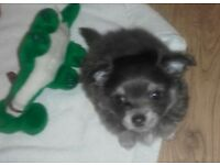 Long Haired blue sable tri male CHIHUAHUA ready for his forever home
