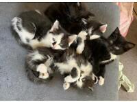 Gorgeous Persian cross kittens