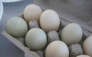 Duck eggs for sale Bridgewater On Loddon Loddon Area Preview