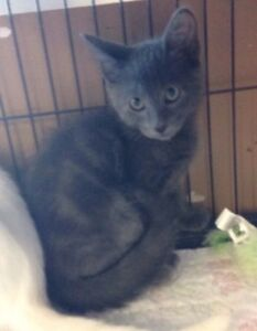 Karry - rescued grey male kitten for adoption