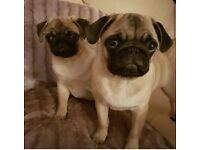Pugs for £400