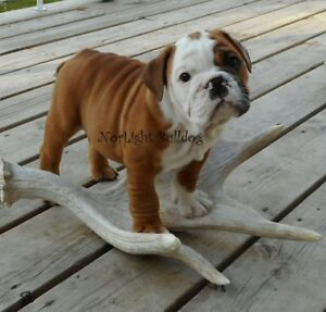 CKC Reg'd British Bulldog Pups, Red/White, Edmonton Home