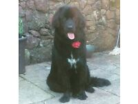 Newfoundland puppy for foster, NOT A FOREVER HOME!!!