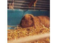Male mini lop bunnie