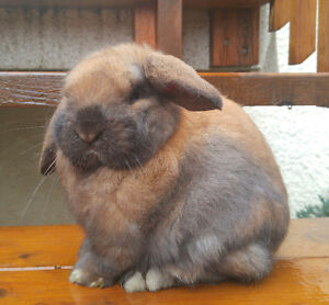 Holland Lop dwarf rabbit