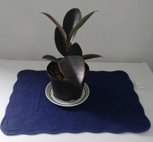 Healthy rooted Rubber plant / Ficus Elastica