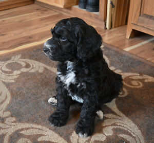 F1B Bernedoodle puppies just in time for Xmas Belleville Belleville Area image 1