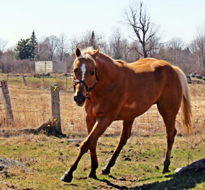 16.2hh AQHA palomino stallion for breeding services