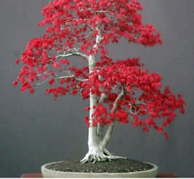 Perfect Xmas Gift Bonsai Free Delivery