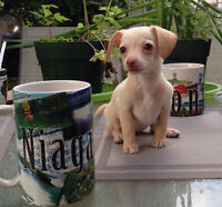 Sweet Purebred Chihuahua Ready to Rehome