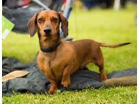 Lost miniature dachshund