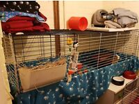 2 x guinea pig boys - 1 x 1 year old, 1 x 4 month old, cage and all accessories