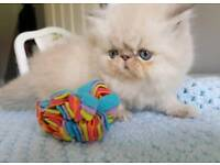 Himalayan colourpoint persian kittens ready now