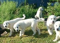 Guardian Puppies