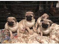 Beautiful pug pups for sale