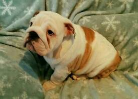 Beautiful British Bulldog Puppies with champion bloodlines ready now