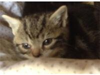 8 weeks old kitten male Tabby