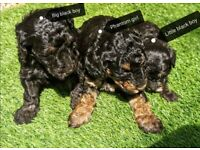Minature poodle puppys