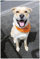 "Young Male Dog - Mastiff-Retriever: ""Enzo"""