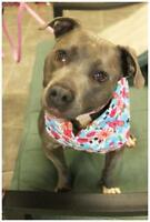 Adult Female  - American Staffordshire Terrier-Terrier