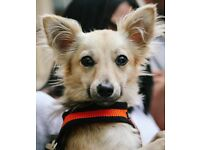 Chihuahua cross SERIOUS OFFERS WILL BE CONSIDERED
