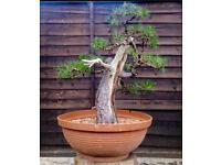 Specimen 90cm Yamadori Scots Pine Bonsai