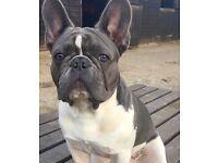 French bulldog free to good home