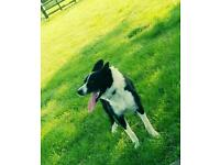 My 4 year old border collie girl needs loving home