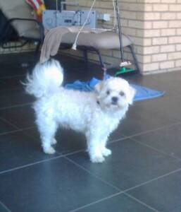 Maltese puppies, very good quality and adorable temperament, Southside Gympie Area Preview