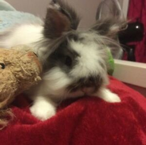 Lion Head rabbit free to good home