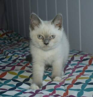 British Shorthair X Ragdoll kittens