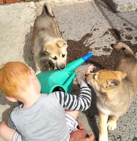 Husky puppies 1 boy,1 girl left