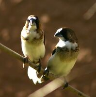2 Society Finches