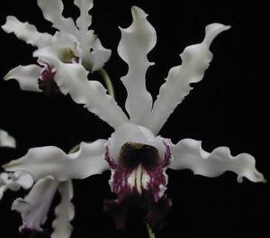 Orchid Species Schomburgkia albopurpurea Fragrant