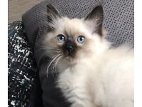 Ragdoll kittens for sale ready now