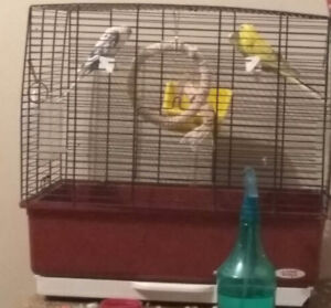 Budgies for sale - 50$