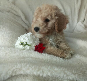Miniature Poodle | Kijiji in Ontario  - Buy, Sell & Save
