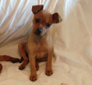 Adorable sweet affectionate chiweenie puppies