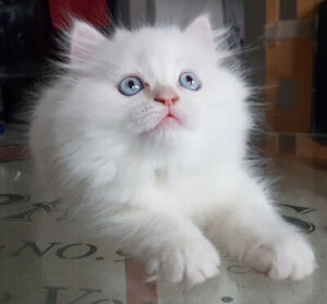 Flame Point Himalayan Doll face Persian Kitten (male purebred)