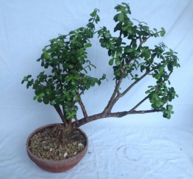 Bonsai Portulacaria Afra - very water wise with high carbon dioxide absorption