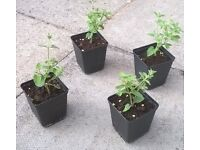 Cat Mint plants