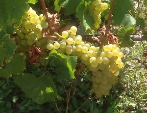 Wanted Adelaide Hills Chardonnay grapes Glenelg Holdfast Bay Preview