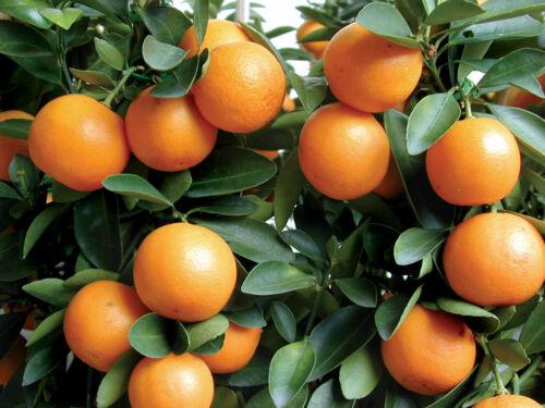 """3""""- 6"""" KUMQUAT TREES REAL LIVE PLANT CITRUS  FRUIT LANDSCAPING SEEDLING STARTER"""