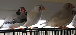 Various mutations of zebra finches