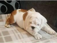 British bulldog pup Girl