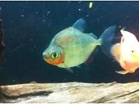Large pacu fish for sale ONO